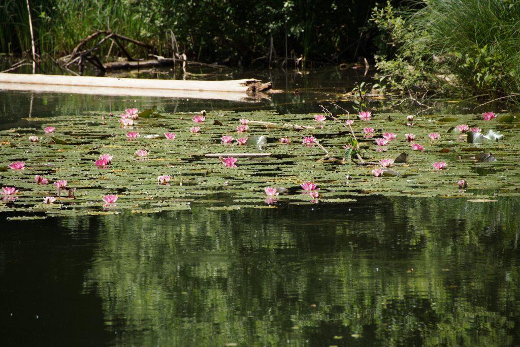 Seerosen auf dem Egelsee