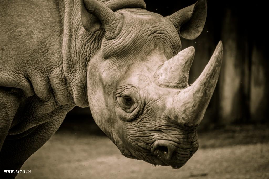 Rhinozeross