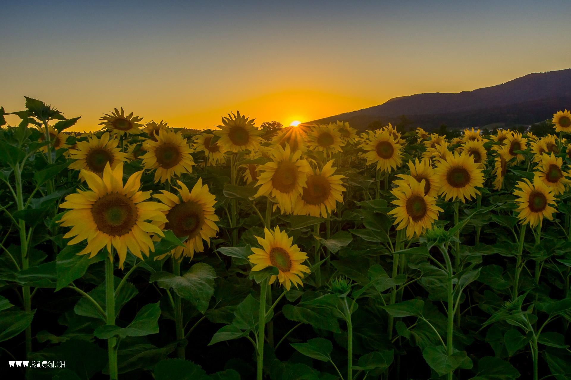 Sonnenblumen 64 cm 3er Pack