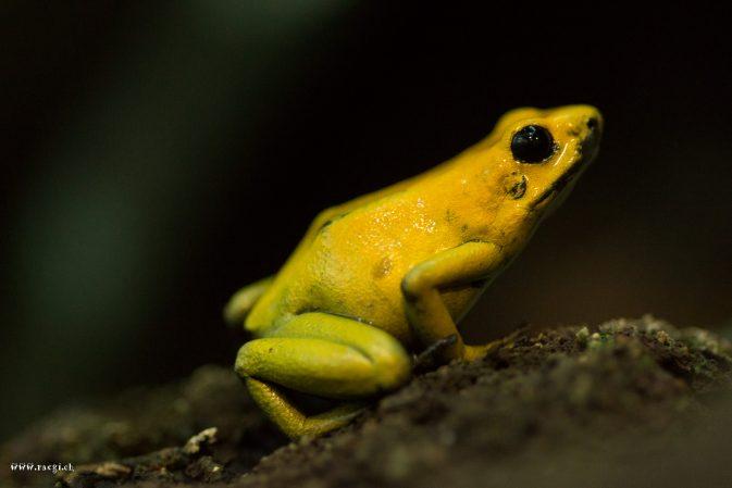 Goldener Pfeilgiftfrosch (Phyllobates terribilis)